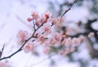 cherry_branch